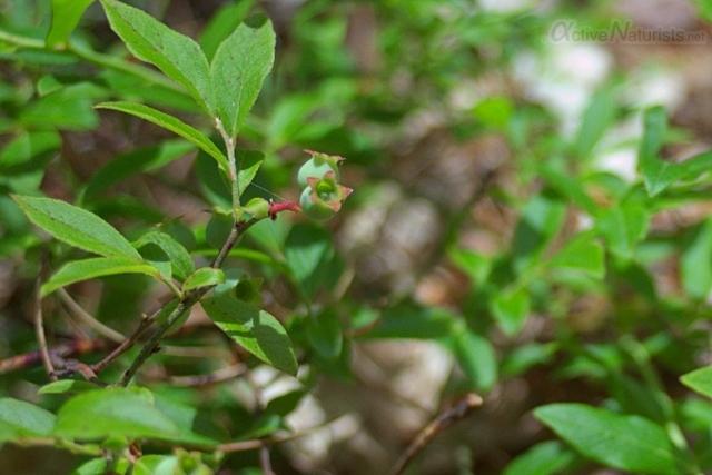 002 Blueberry 0000 Georgian Bay, Ontario, Canada