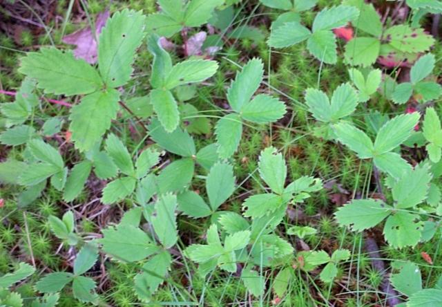 003 Wild Strawberry Picture