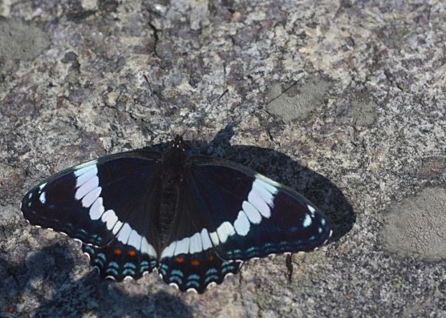 009 Butterfly 0000 Georgian Bay, Ontario, Canada