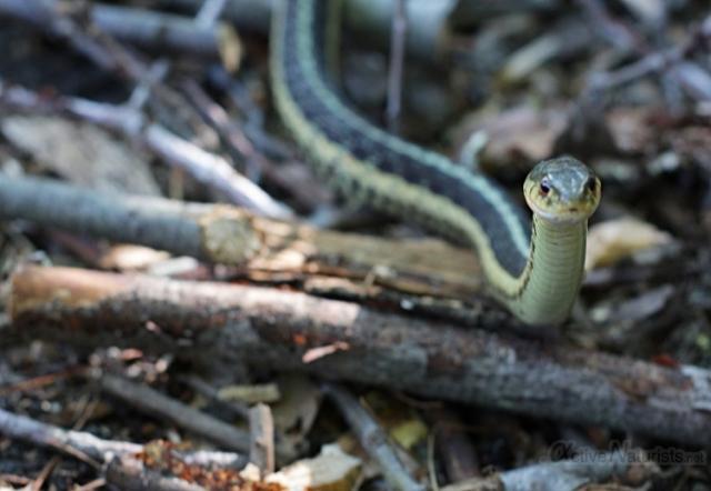 010 Ribbon Snake 0000 Georgian Bay, Ontario, Canada